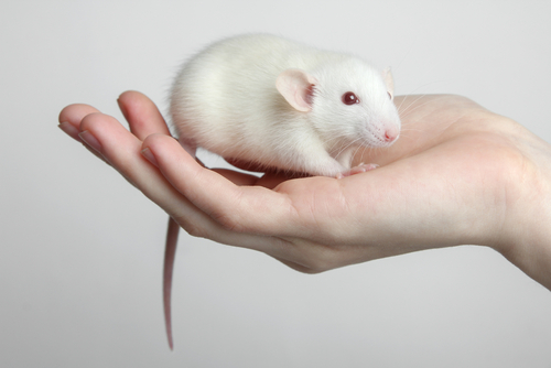2 New Rat Models Opening to Researchers Through Horizon-Fox Foundation Partnership